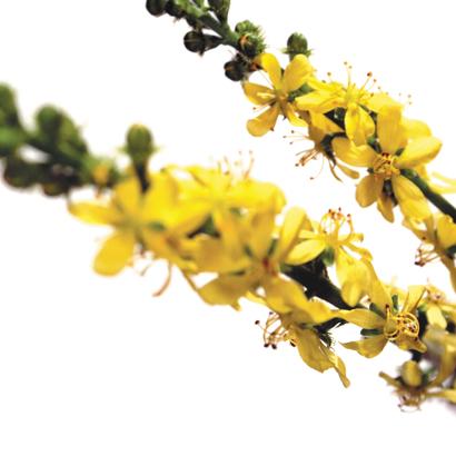 Fleurs de bach agrimony