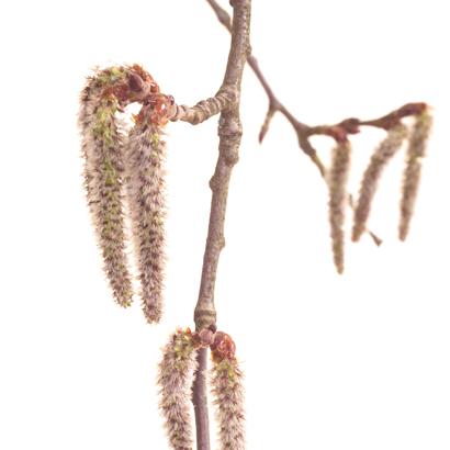 Fleurs de bach Aspen