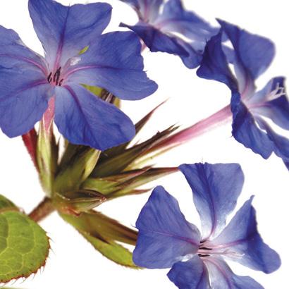Fleurs de bach cerato