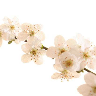 Fleurs de bach Prunier Myrobolan