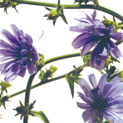 Chicory, la fleur de Bach de l'amour sans restriction