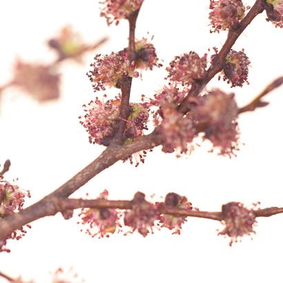 Elm, une fleur de Bach pleine de vitalité