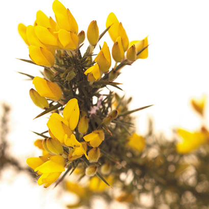 Fleurs de bach Gorse