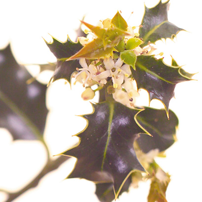 Fleurs de bach holly