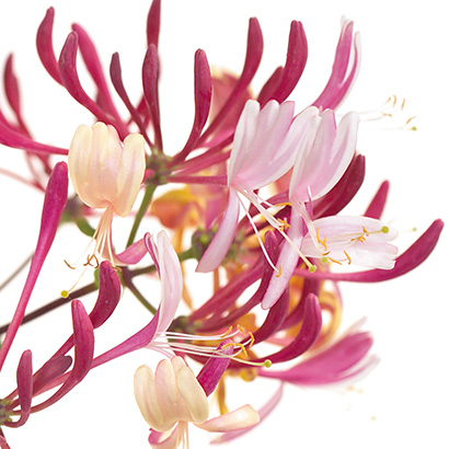 Chèvrefeuille, la fleur de Bach de la positivité