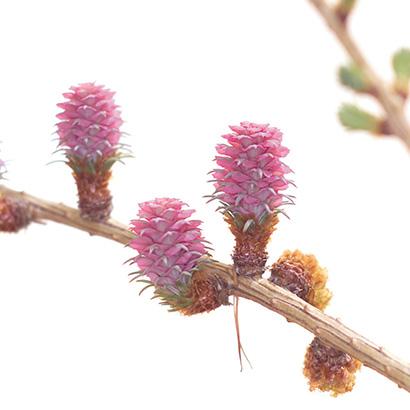 Fleurs de bach larch
