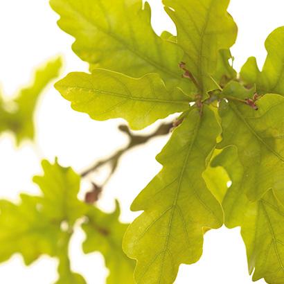 Le chêne : la fleur de Bach contre l'abattement