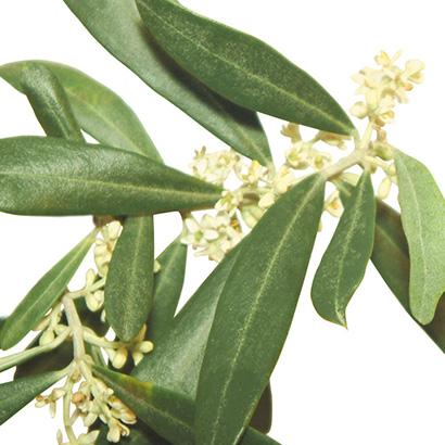 Fleurs de bach olive
