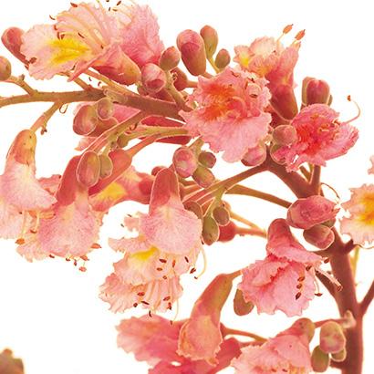 Le marronnier rouge : la fleur de Bach de la sérénité