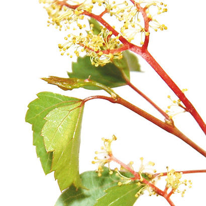 Fleurs de bach vine