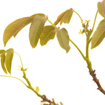 Walnut : la Fleur de Bach de l'adaptation au changement