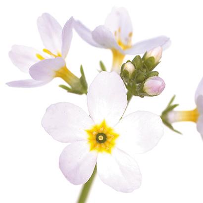 Fleurs de bach water violet