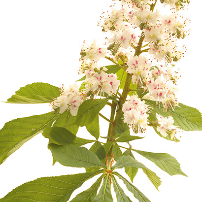 Fleur de Bach White chestnut : l'alliée anti-rumination mentale