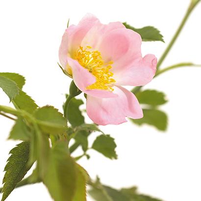 Fleurs de bach wild rose