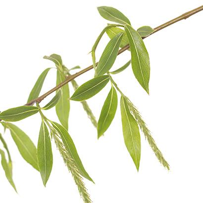 Fleurs de bach Willow